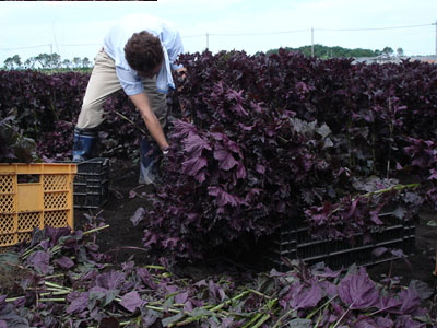 紫蘇の収穫の様子